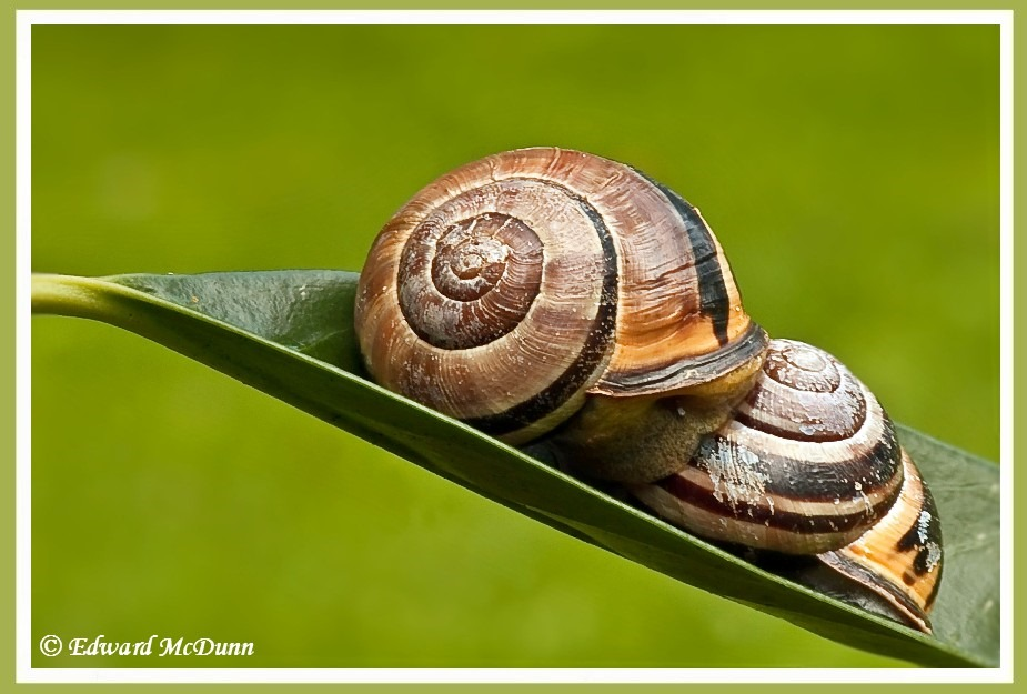 Niet elke slak heeft de beschikking over een vrijstaande woning, soms moeten ze genoegen nemen met een rijtjeshuis.